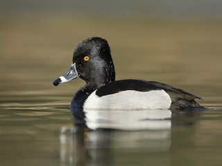 - Ring-necked Duck