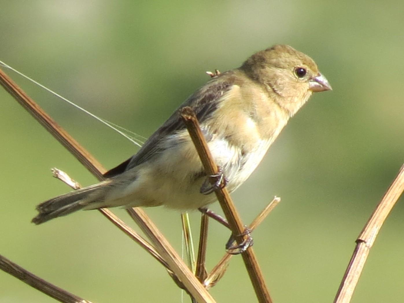 Rufous-rumped Seedeater - Àlvaro Riccetto