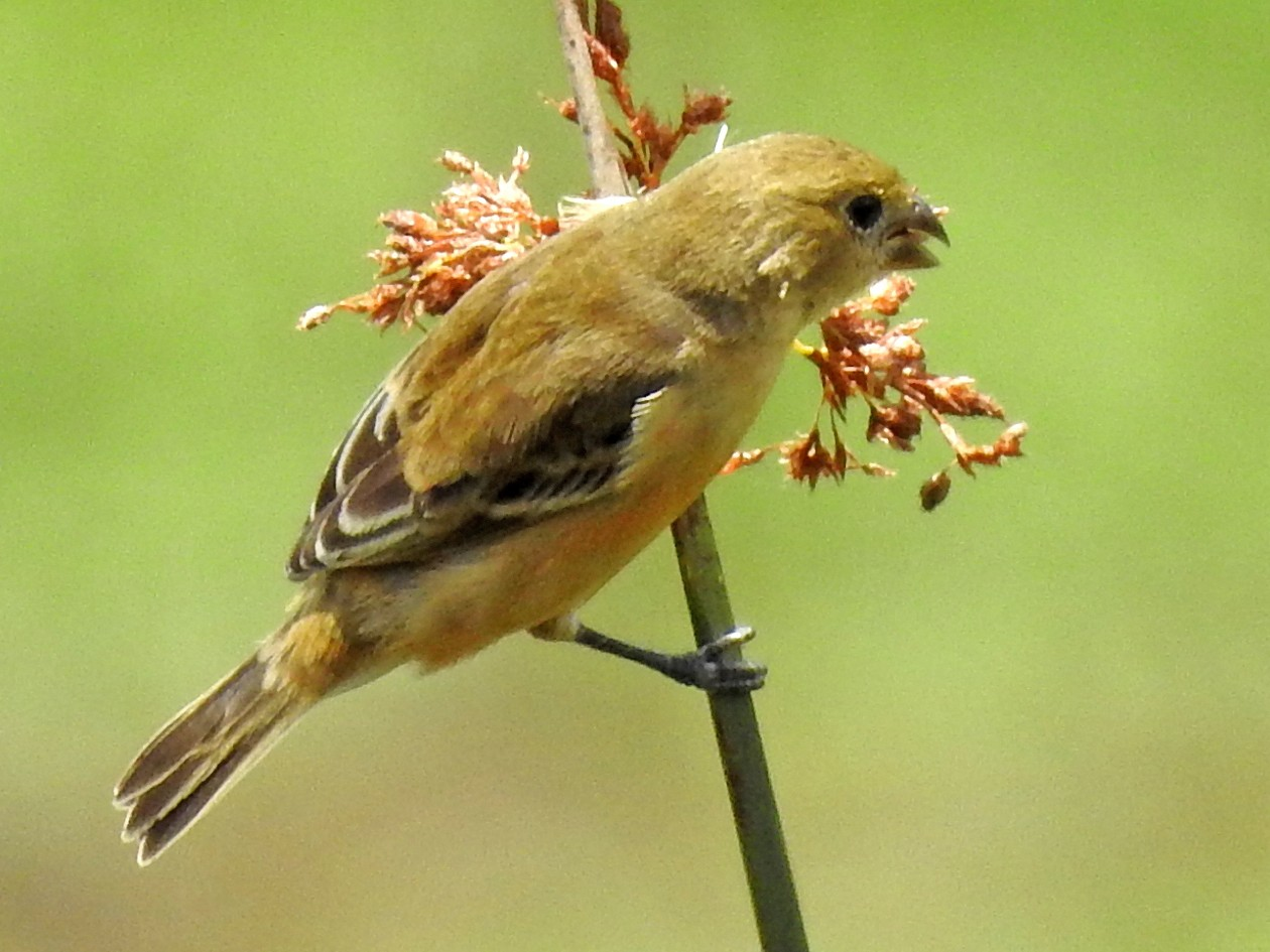 Chestnut Seedeater - Carlos Crocce
