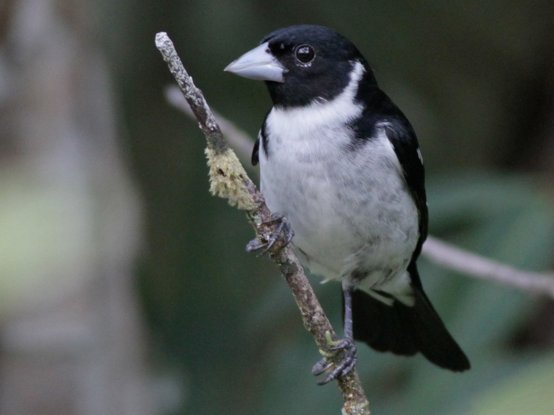 White-naped Seedeater - Ian Davies