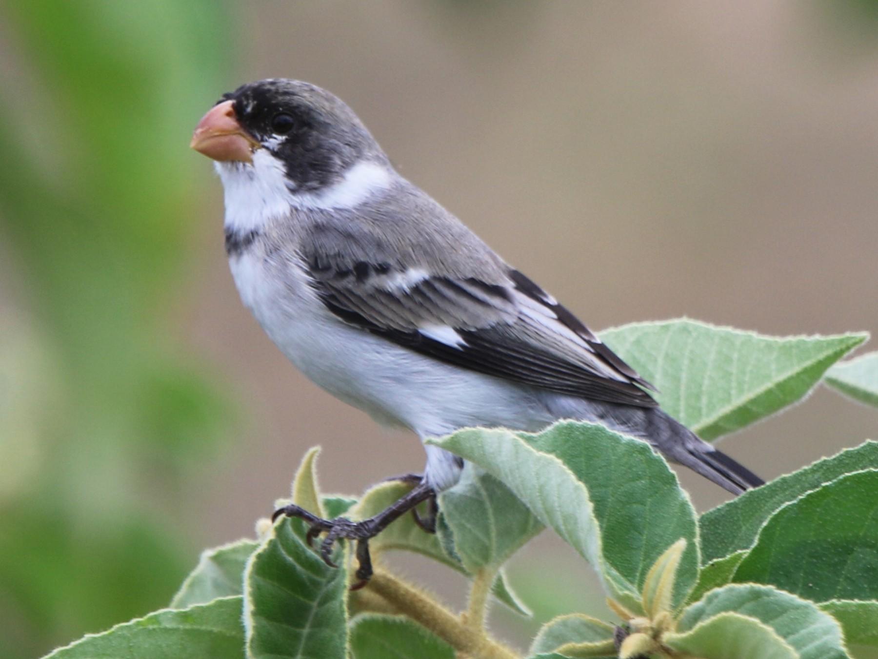 White-throated Seedeater - Thompson Ian