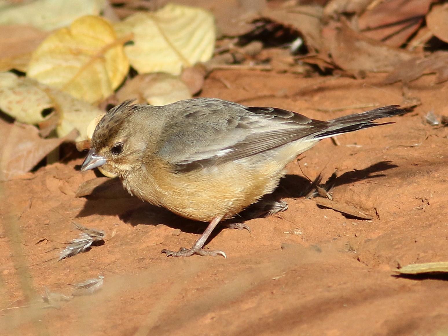 Coal-crested Finch - Daniel Branch