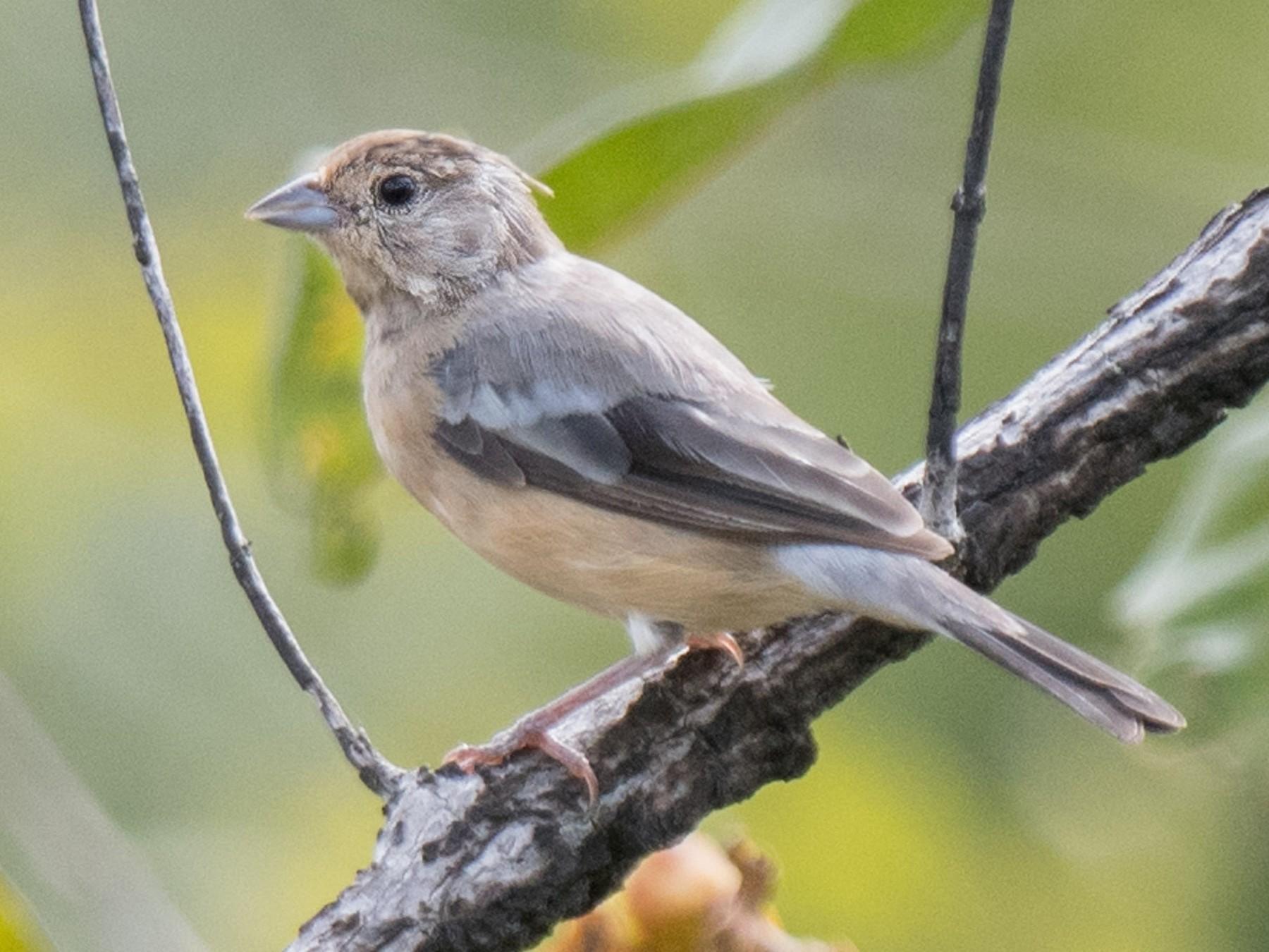 Coal-crested Finch - Hudson - BirdsRio