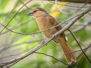 - Brown Tanager