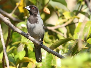 - Black-faced Tanager