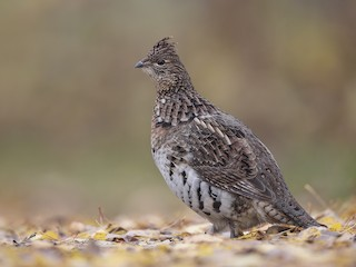 - Ruffed Grouse