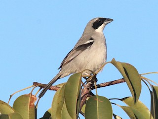 - White-banded Tanager