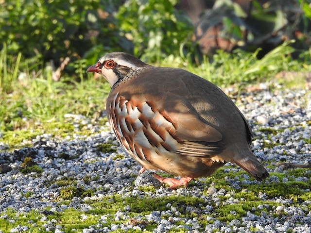 ©Alexandre Rica Cardoso - Red-legged Partridge