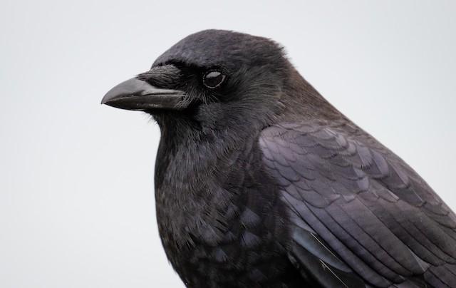 ©Mason Maron - Northwestern Crow