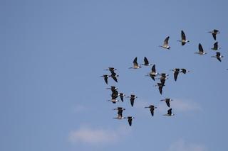Cackling Goose (minima), ML188236141