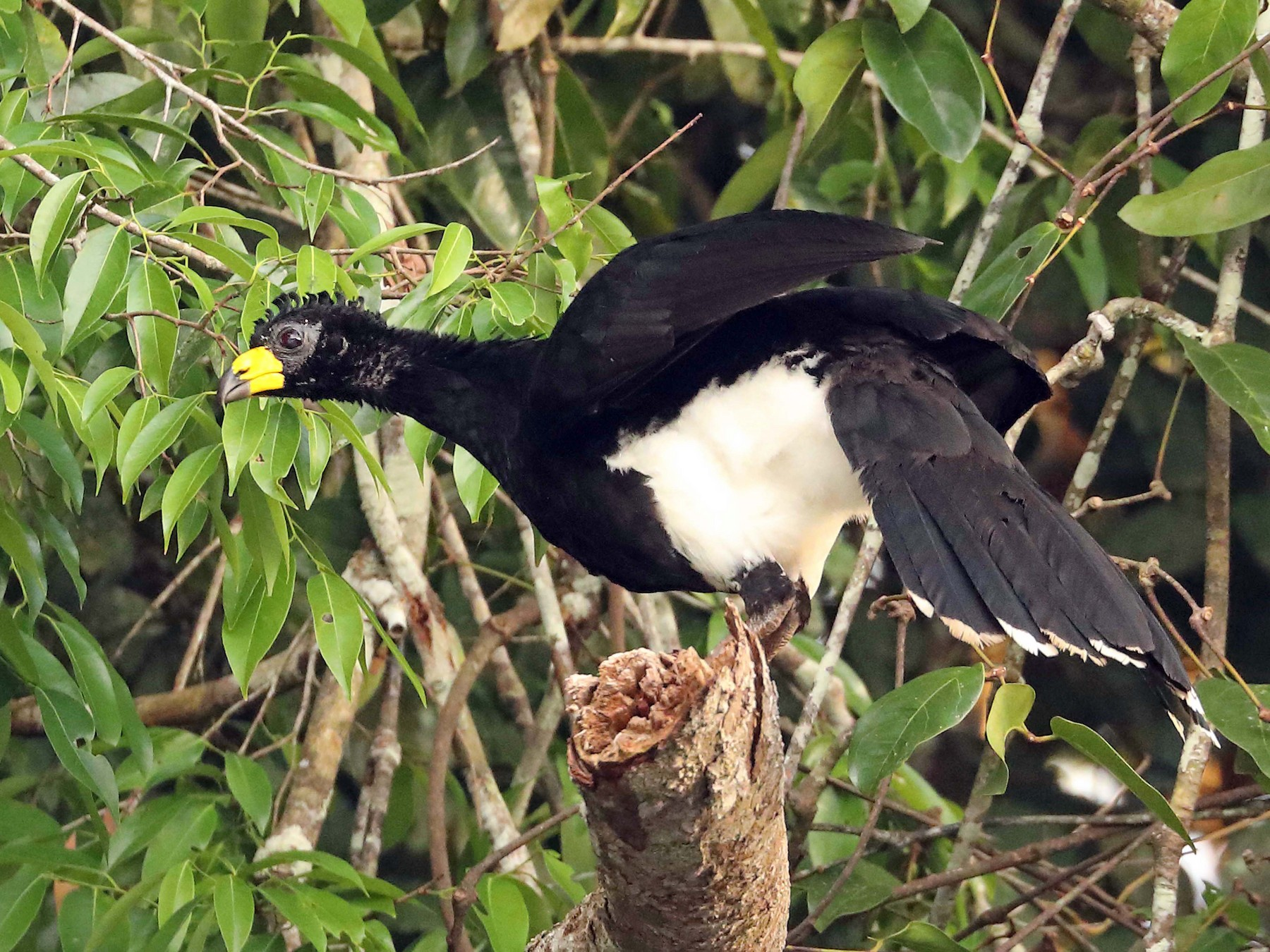 Bare-faced Curassow - Ly Lan Le Do