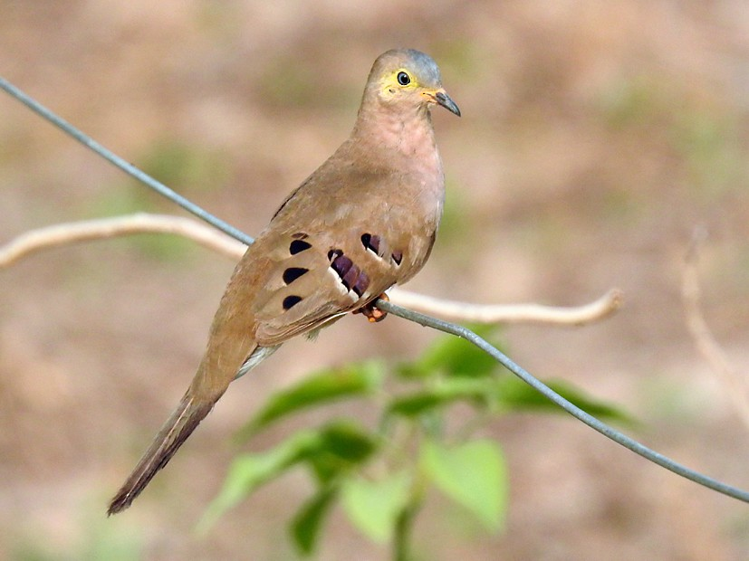 Long-tailed Ground Dove - Richard Garrigues