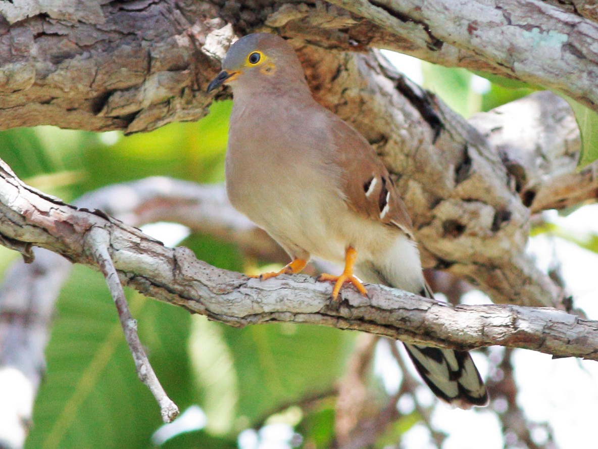 Long-tailed Ground Dove - Manfred Bienert