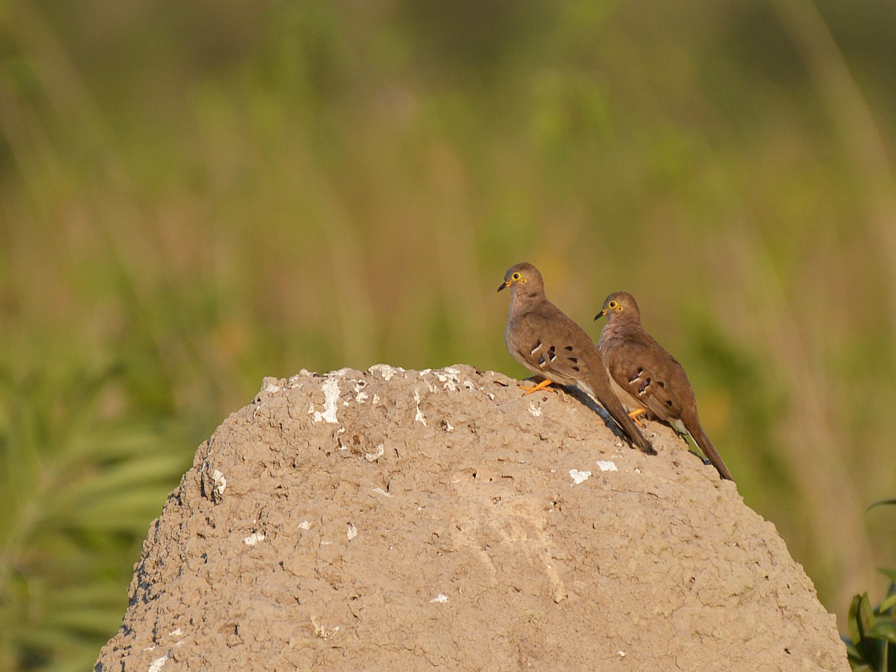 Long-tailed Ground Dove - Henry Cook