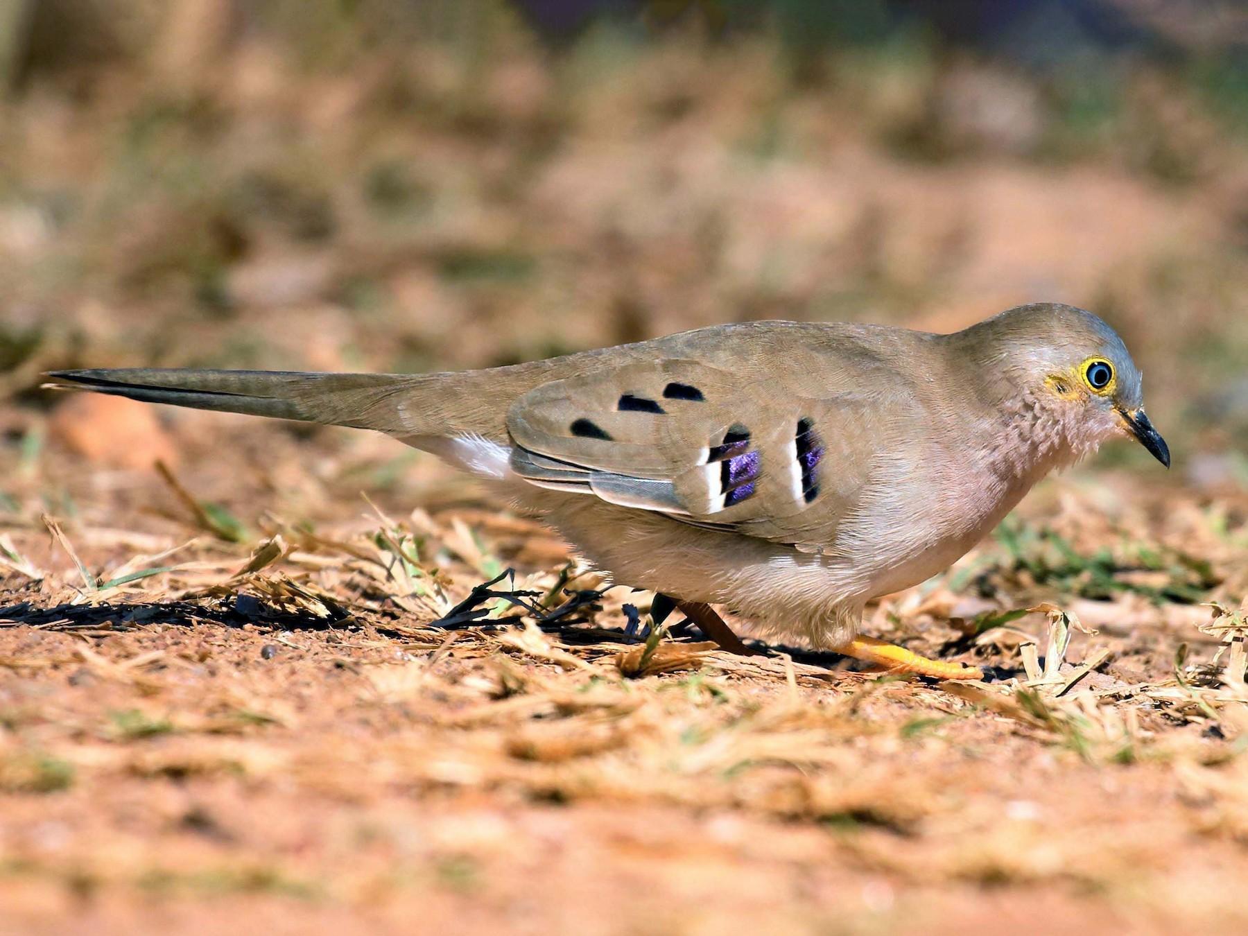 Long-tailed Ground Dove - Jose Luis Blázquez