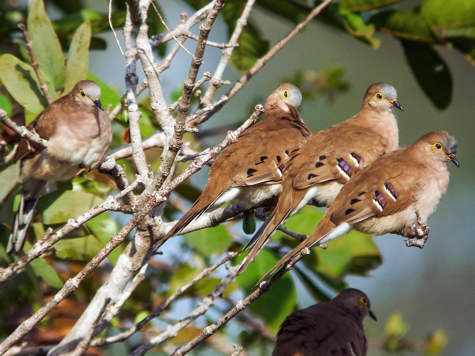Long-tailed Ground Dove - Nick Athanas