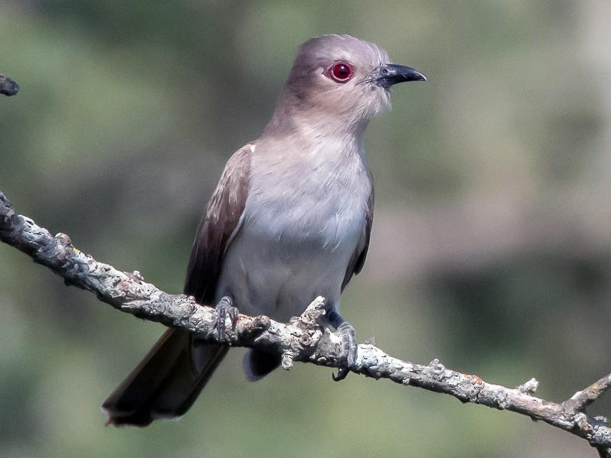 Ash-colored Cuckoo - Mauricio Schmithalter