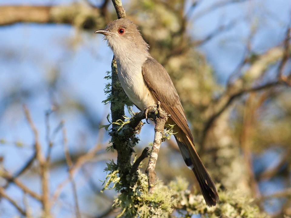 Ash-colored Cuckoo - Horacio Luna
