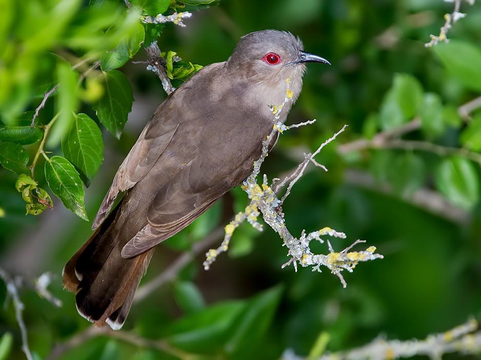 Ash-colored Cuckoo - Andrés  Terán