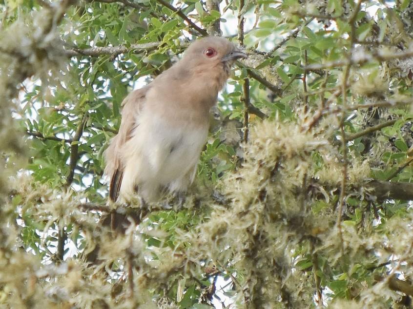Ash-colored Cuckoo - federico nagel