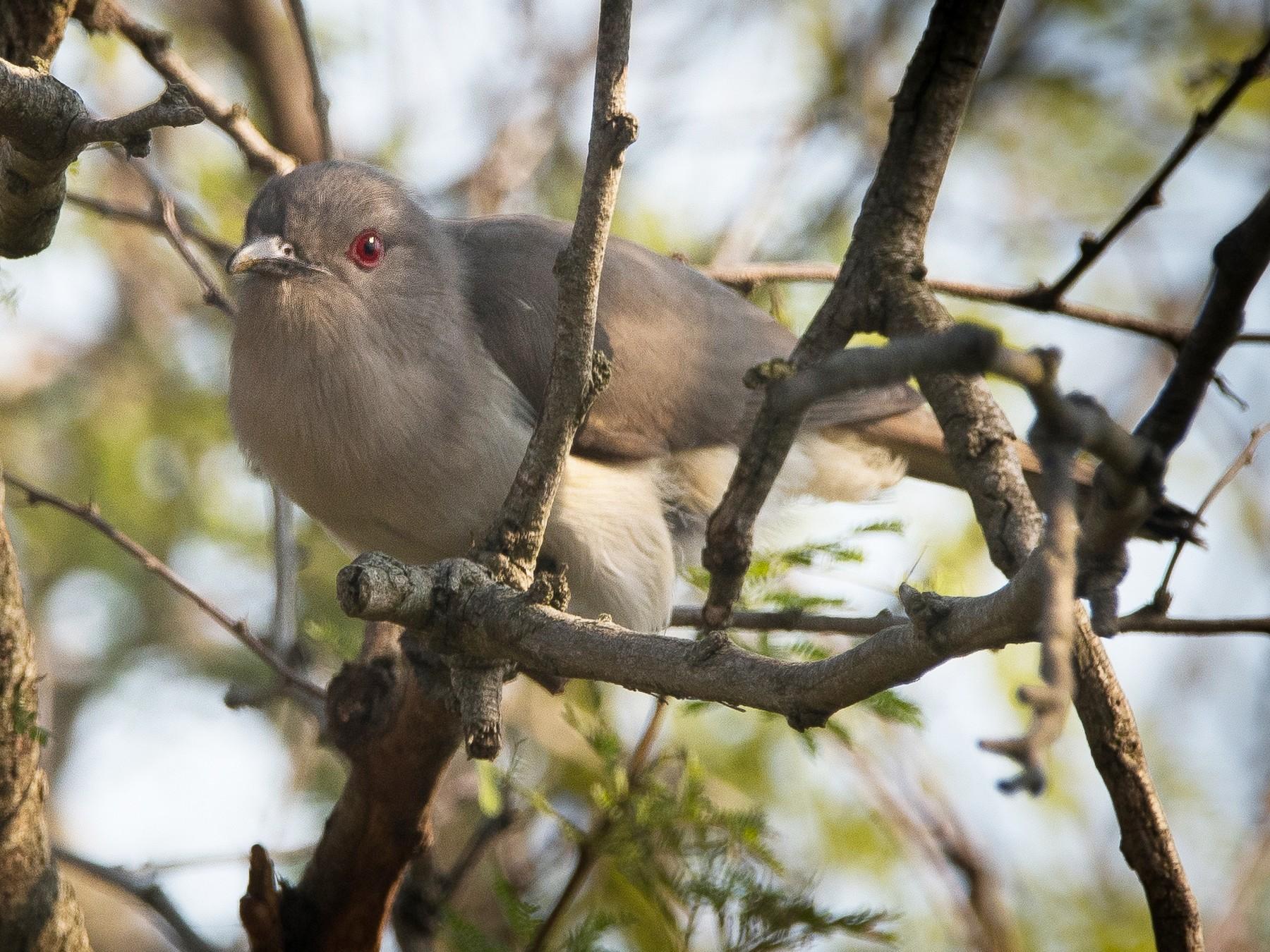 Ash-colored Cuckoo - Pablo Re