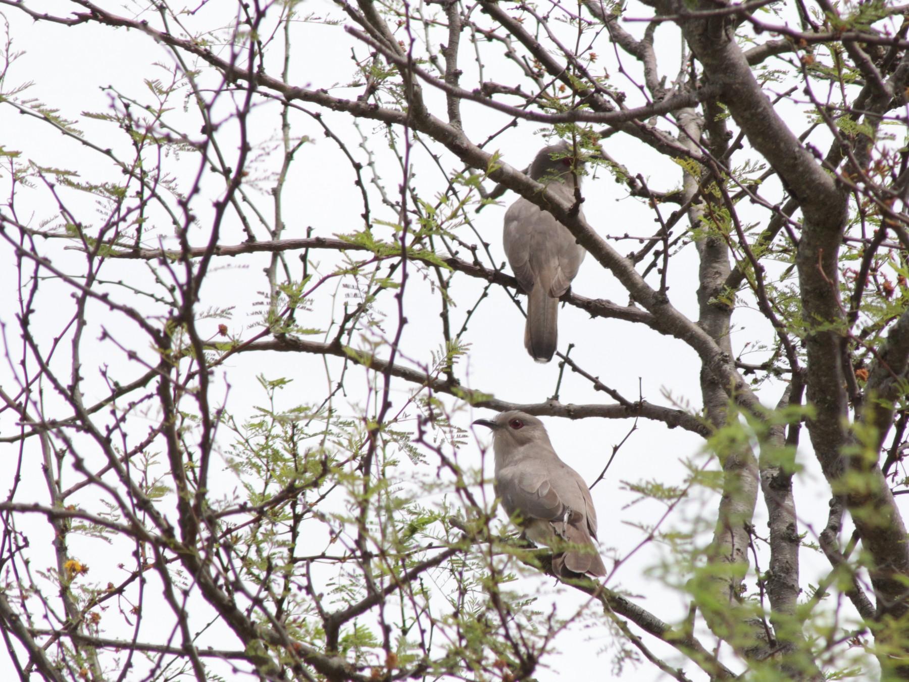 Ash-colored Cuckoo - Germán Saigo