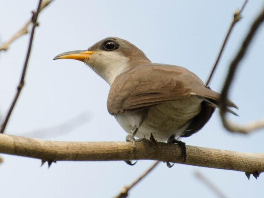 Pearly-breasted Cuckoo - Marcos Eugênio Birding Guide