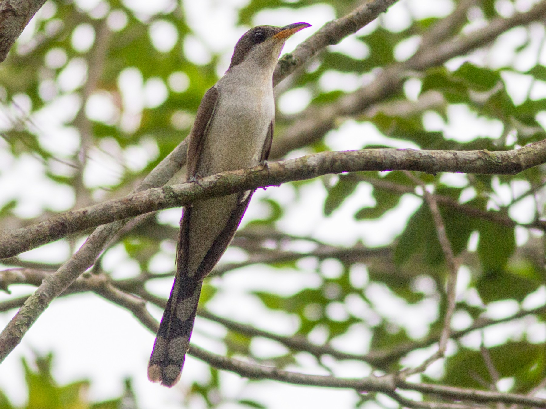 Pearly-breasted Cuckoo - Fernando Farias