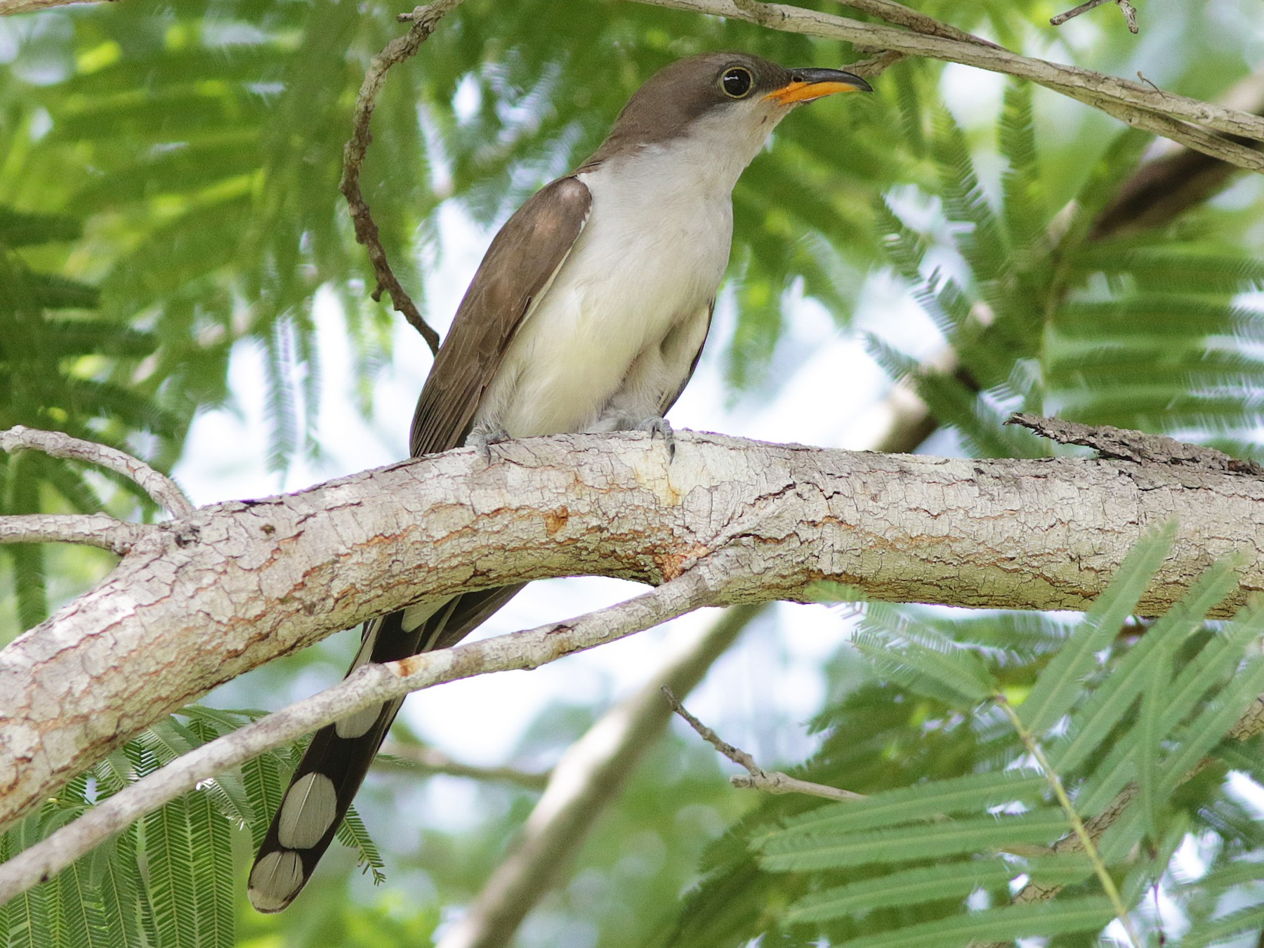 Pearly-breasted Cuckoo - Alex Mesquita