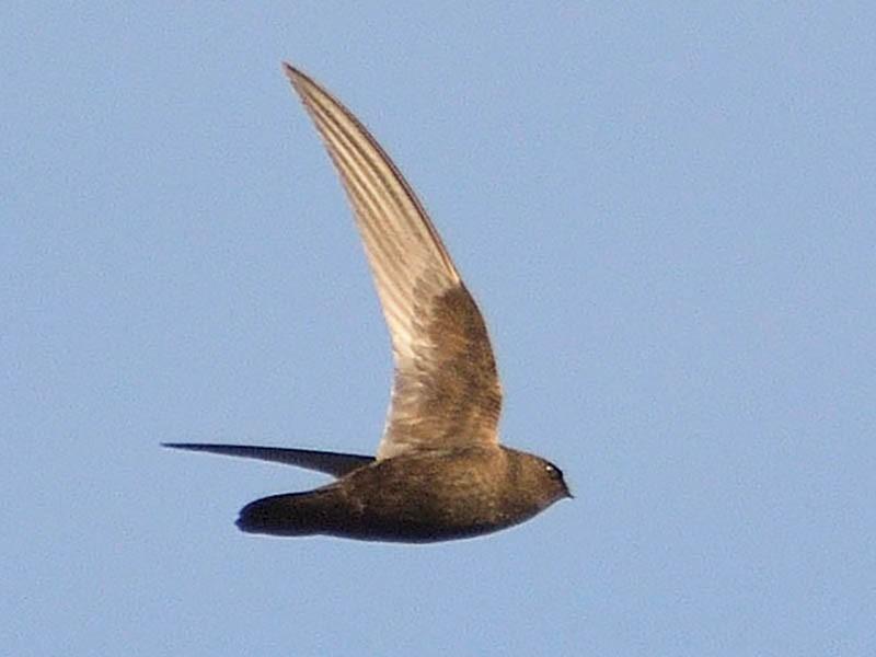 Rothschild's Swift - Luis Fernandez