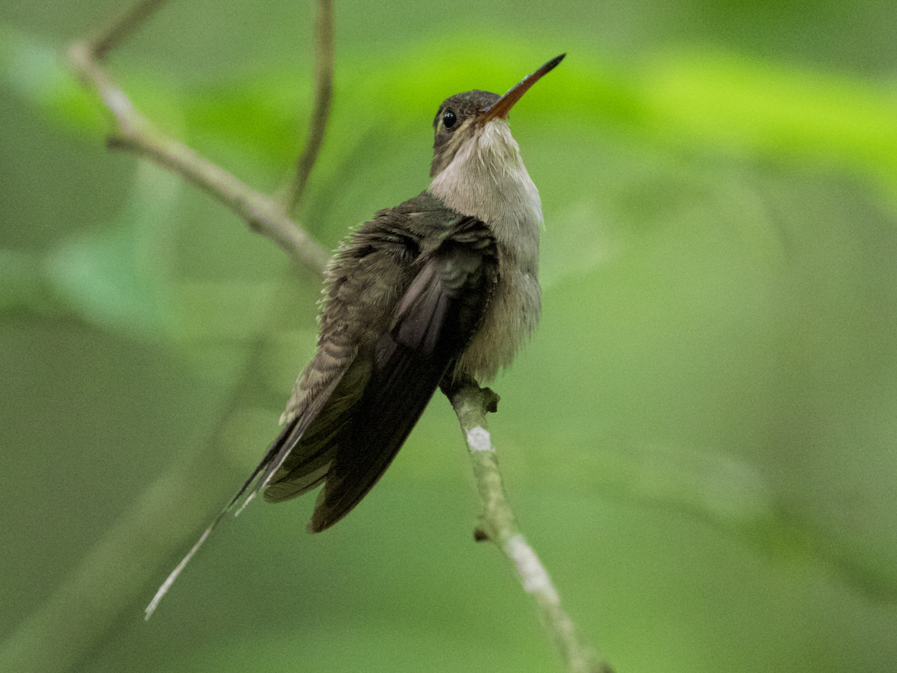 Straight-billed Hermit - Stan Lilley
