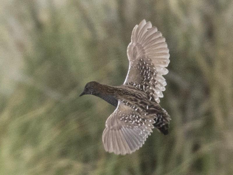 Dot-winged Crake - Steven Whitebread