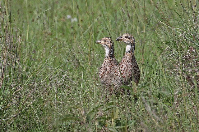 Shelley's Francolin