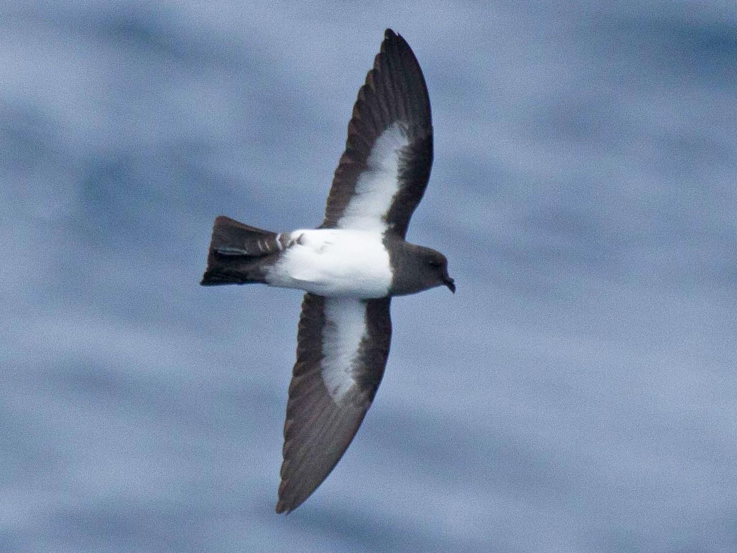 White-bellied Storm-Petrel - Fernando Díaz  (Albatross Birding Chile)