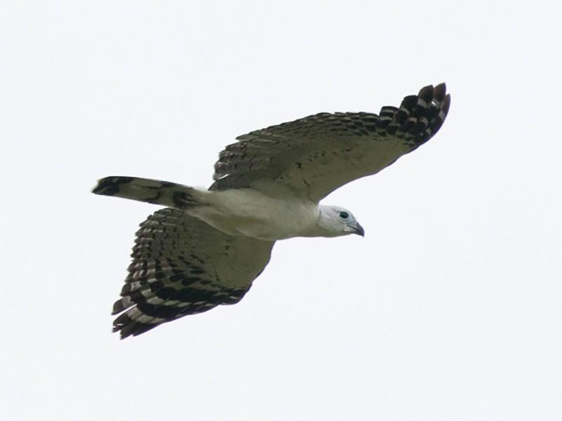 White-collared Kite - Silvia Faustino Linhares