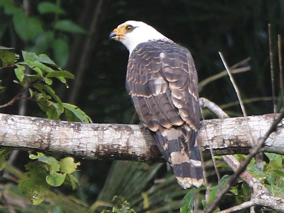 White-collared Kite - Thompson Ian