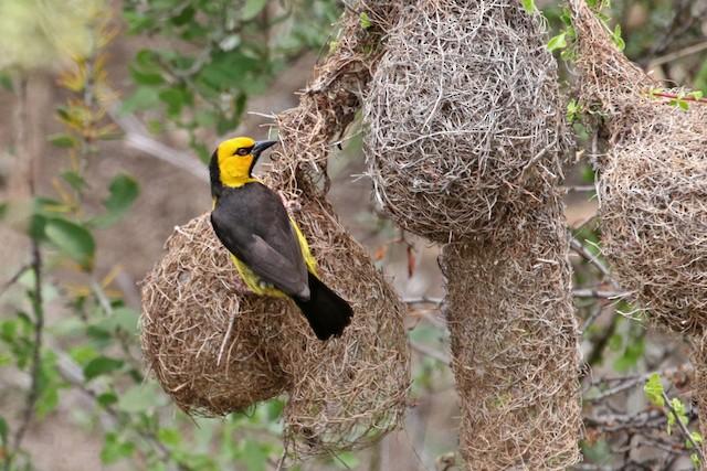 Black-necked Weaver