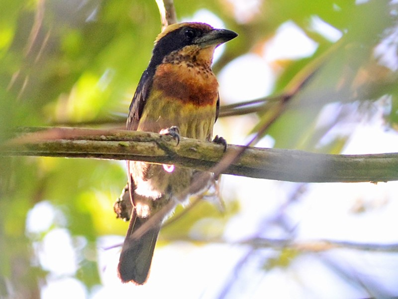 Brown-chested Barbet - Bruno Rennó