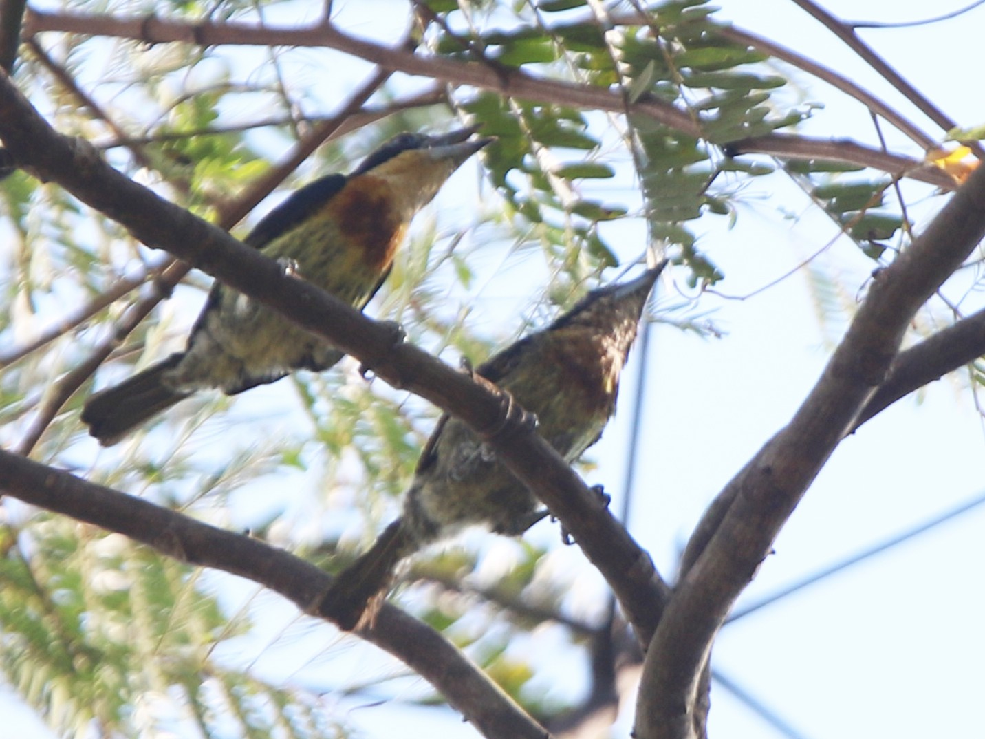 Brown-chested Barbet - Ian Thompson