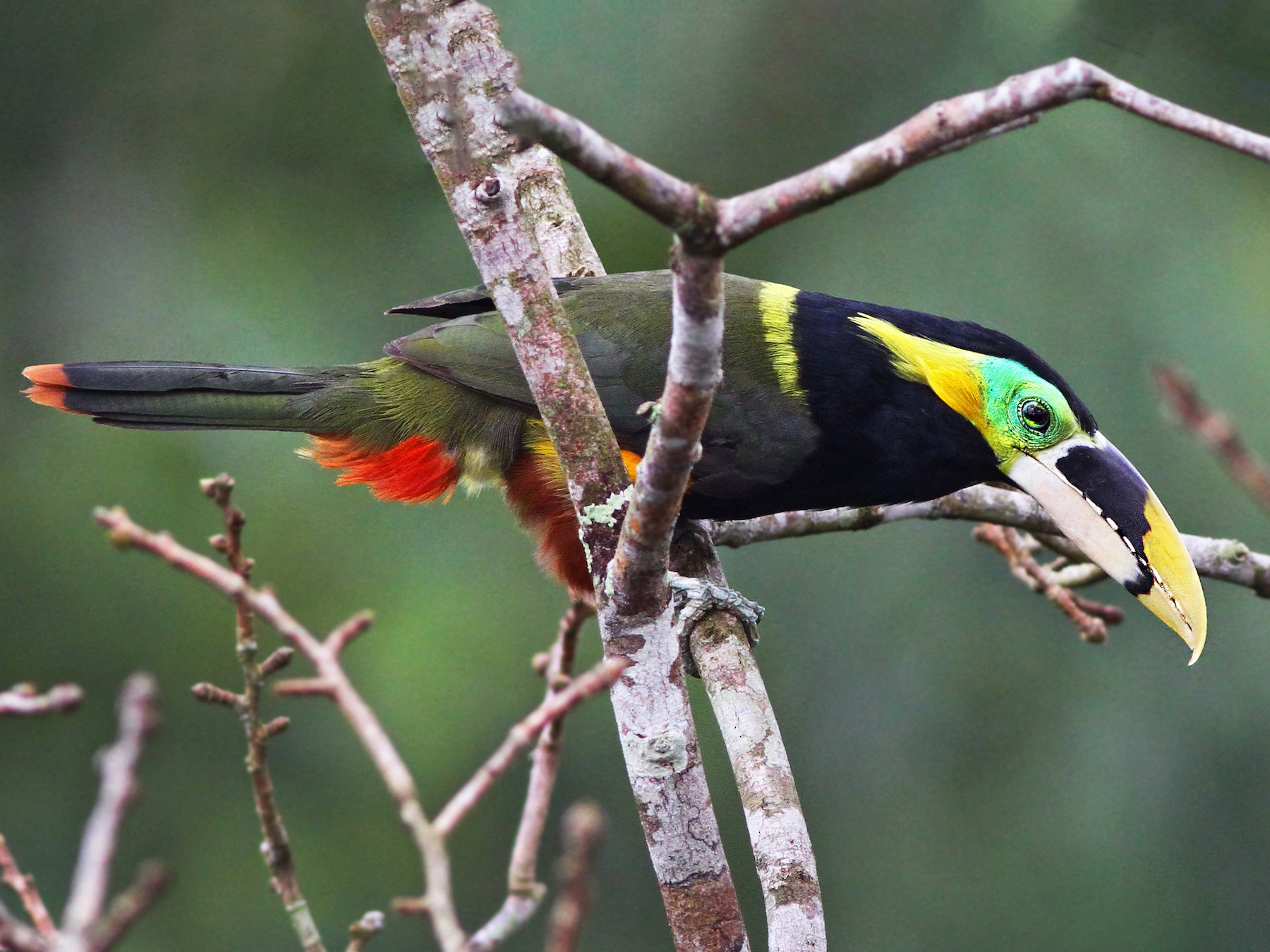 Gould's Toucanet - Andrew Spencer