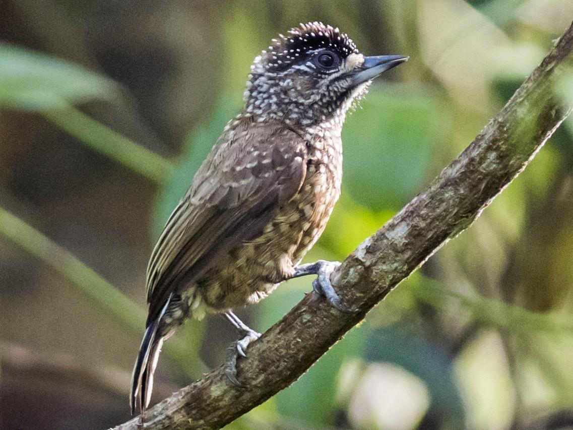 Spotted Piculet - Claudia Brasileiro