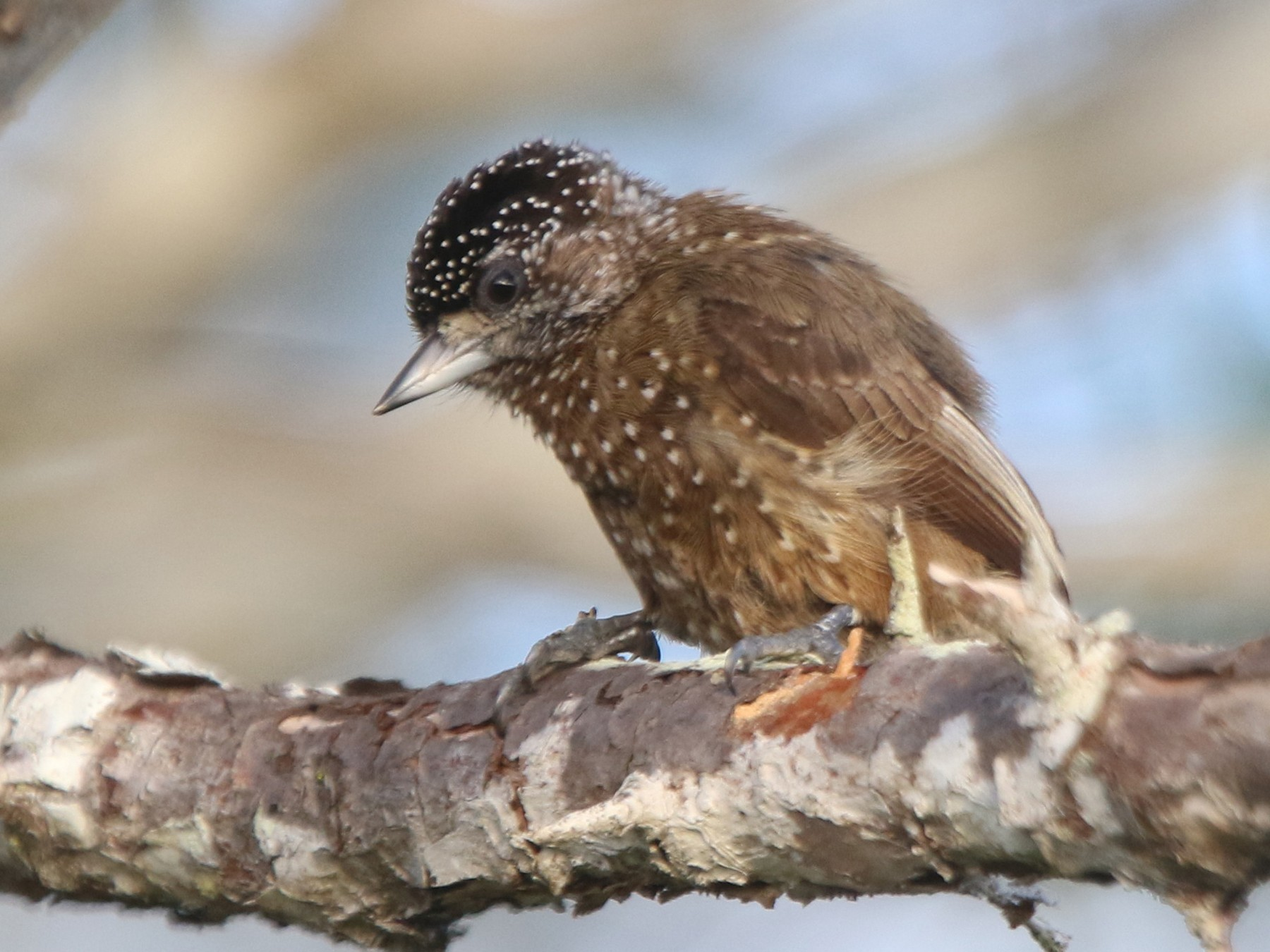Spotted Piculet - Thompson Ian