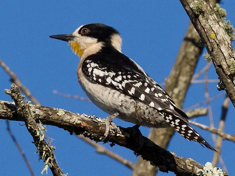 White-fronted Woodpecker - Patricia Alfredo