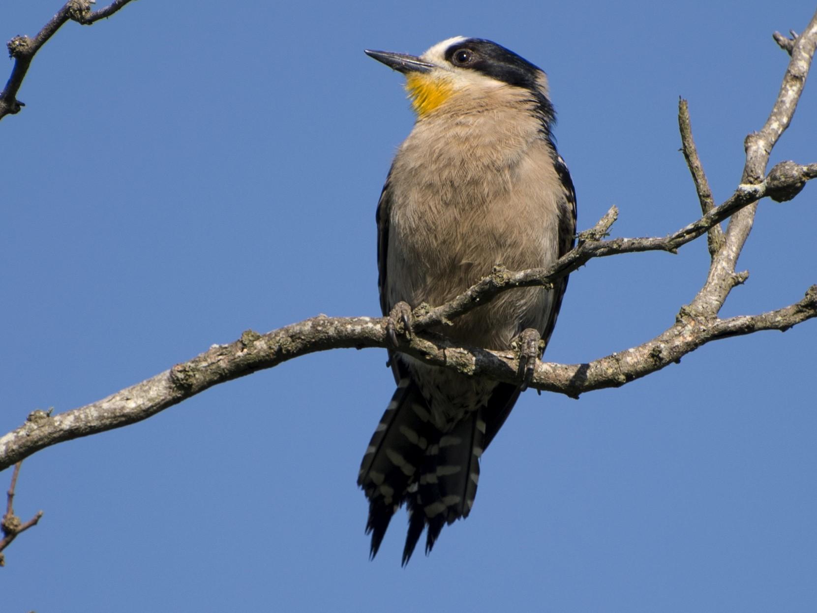 White-fronted Woodpecker - Luiz Carlos Ramassotti