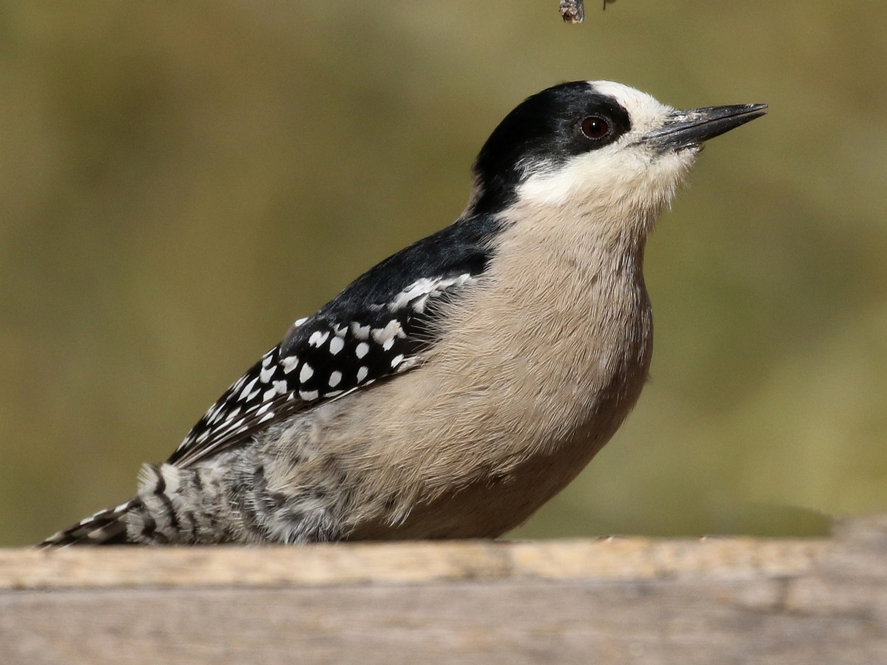 White-fronted Woodpecker - Jay McGowan
