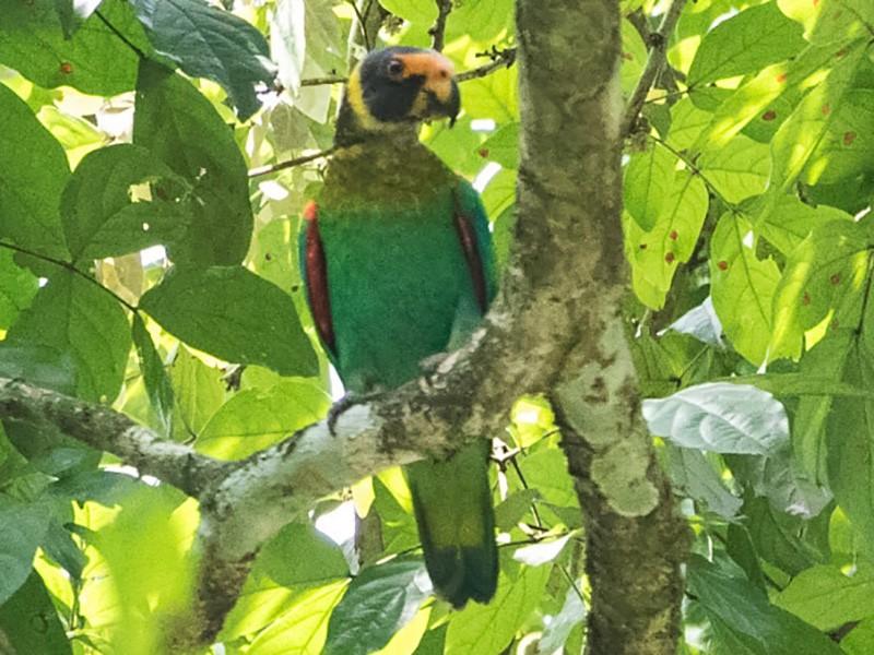 Vulturine Parrot - Silvia Faustino Linhares