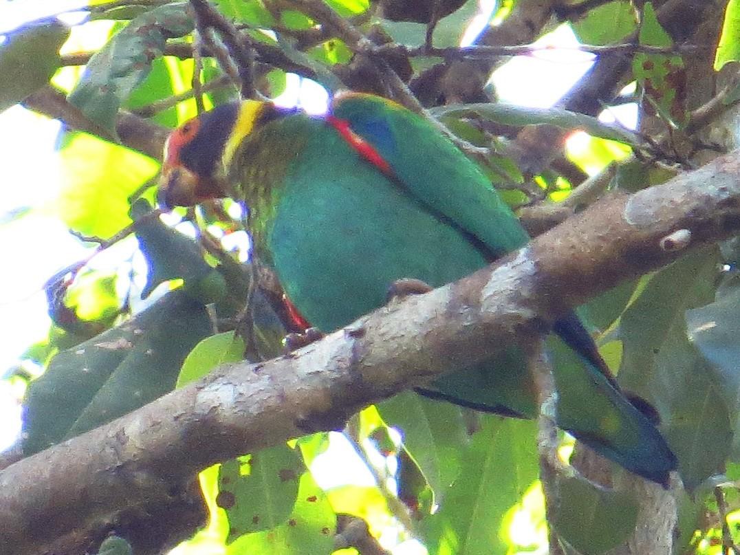 Vulturine Parrot - Willian Menq