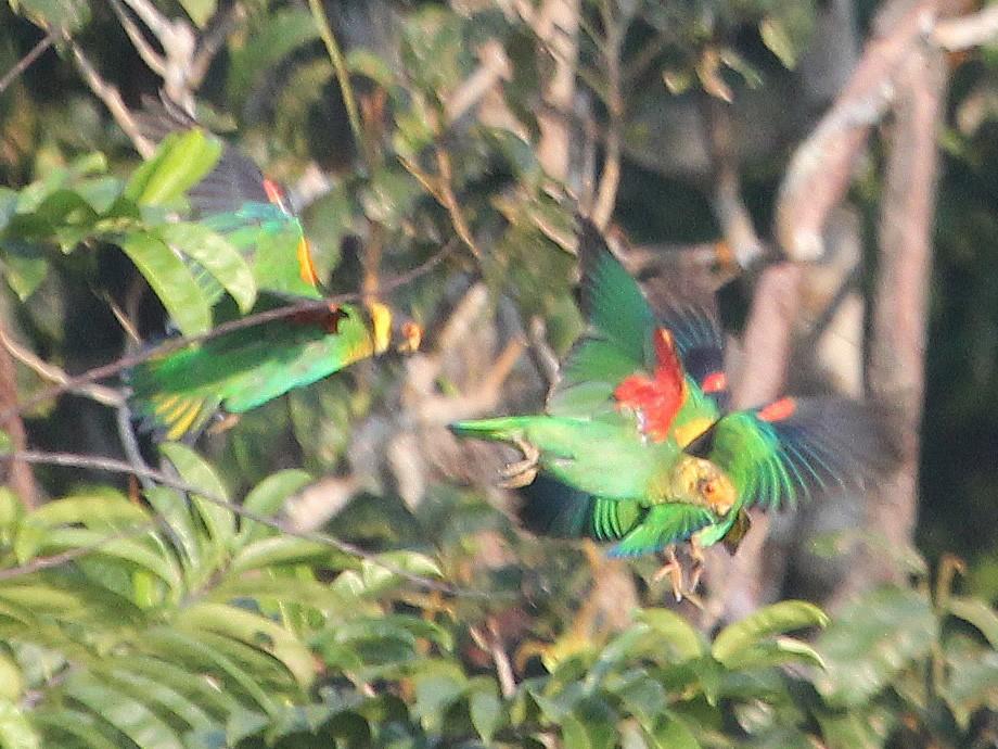 Vulturine Parrot - Alexander Lees
