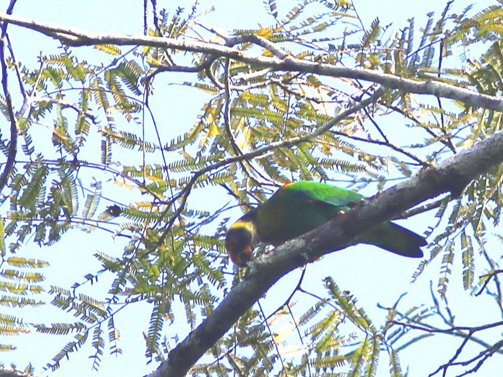 Vulturine Parrot - Rohan van Twest