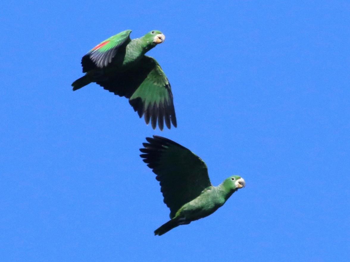 Kawall's Parrot - Cassie  Liu